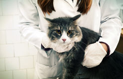 Cat and vet hands. Cat on reception at the vet Royalty Free Stock Photos
