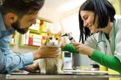 Cat at vet office , ears checkup. Owner and veterinarian with pet royalty free stock photography