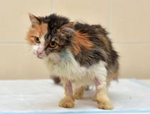 Cat Veterinarians. Cat being treated at veterinary hospitals Royalty Free Stock Photo
