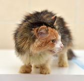 Cat Veterinarians. Cat being treated at veterinary hospitals Stock Photography