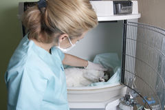 Cat and Veterinary. A cat is in intensive care unit, examined by a veterinarian Royalty Free Stock Photos