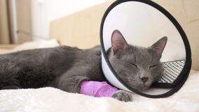 Cat in the veterinary collar falls asleep on the bed
