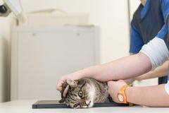 Cat in the veterinary practice. Vet is X-ray the animal royalty free stock photo