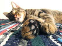Cat view. Cat limbs with white background over colorful fabric Royalty Free Stock Photography