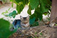Cat in the vineyard. Beautiful gray tabby cat in grape bushes Stock Image