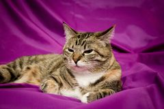 Cat on violet background Stock Photos