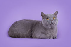 Cat on violet background isolated Royalty Free Stock Images