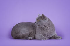Cat on violet background isolated Royalty Free Stock Image