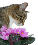 Cat and violets. Cat smelling violets isolated on a white background Royalty Free Stock Image