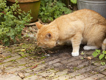 Cat vomiting royalty free stock photography