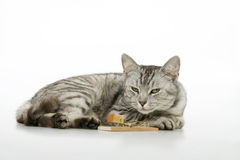 Cat wait on mouse. Royalty Free Stock Images