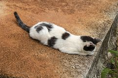 Cat In Wait Of Prey. Black and white cat lying on the ground, tail outstretched and tip turning upward, head stretched ahead and ears tilt forward looking and stock photo