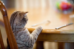 Cat waiting for food sitting like man at table. Indoor stock photography