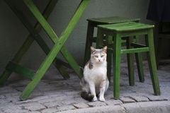 Cat Waiting for Food Under Table Royalty Free Stock Photography