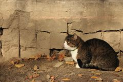 Cat waiting for its owner against concrete grey wall and fallen yellow leaves. Animal devotion concept Stock Images