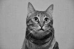 Cat Waiting For Snack Time domestique Images libres de droits