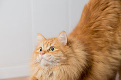 The cat waiting to pounce Royalty Free Stock Photography