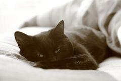 Cat Waking Up. Cat on Bed Waking Up From deep dreamy sleep Royalty Free Stock Photography