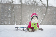 Cat for a walk Stock Image