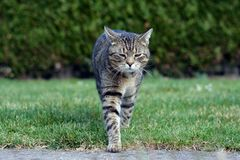 Cat walk Stock Photography