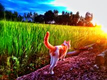 Cat walk in farm royalty free stock images