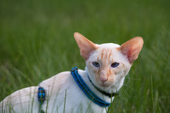 Cat Walk. Walking Siamese cat oriental rock on a green meadow on a sunny day Stock Photo