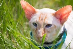 Cat Walk. Walking Siamese cat oriental rock on a green meadow on a sunny day Royalty Free Stock Photos