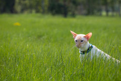 Cat Walk. Walking Siamese cat oriental rock on a green meadow on a sunny day Royalty Free Stock Images
