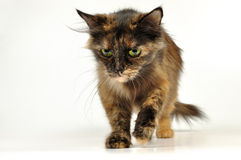 Cat walking Royalty Free Stock Image