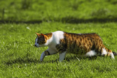 Cat walking. In the grass Stock Images