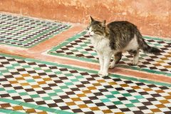 Cat walking across traditional Moroccan tiles in Marrakesh royalty free stock images