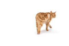 Cat walking alone Royalty Free Stock Images