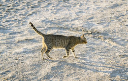 Cat walking along the beach, sunny day Royalty Free Stock Images