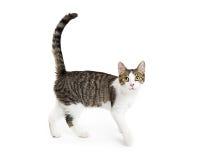 Cat Walking ativa feliz no branco fotografia de stock royalty free