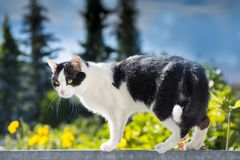 Cat is walking on a balcony banisters. A beautiful cat is walking on a balcony banisters royalty free stock image