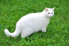 Cat Walking blanca en hierba verde fotografía de archivo libre de regalías