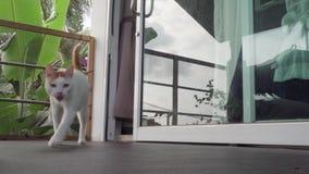 Cat Walking con un blando con la pierna herida en la preparación herida del cuidado almacen de metraje de vídeo