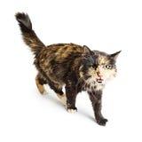 Cat Walking consideravelmente nova sobre o branco imagem de stock