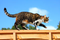 Cat walking on fence. Tabby cat walking / balancing on a garden fence against blue sky Stock Photography