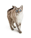Cat Walking Forward Siamese amigável Foto de Stock Royalty Free