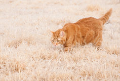 Cat walking in frozen grass Royalty Free Stock Images