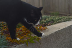 Cat walking in the garden in autumn  morning Royalty Free Stock Image