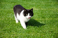 Cat walking in the grass royalty free stock photos