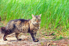 Cat walking on grass Royalty Free Stock Images