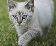 Cat Walking On Grass joven Imagen de archivo libre de regalías