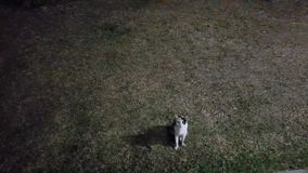 Cat walking on grass at night stock video