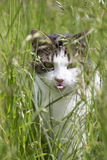 Cat Walking in Grass with Tongue Sticking Out Stock Photos