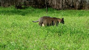 Cat walking in green grass. On a sunny day outdoors. Hunting cat in the garden stock footage