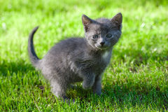 Cat walking on green grass Royalty Free Stock Photography