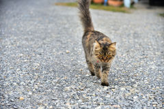 A cat walking. On ground Royalty Free Stock Images